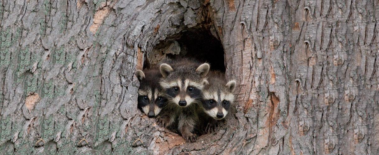 baby-raccoons-lrg