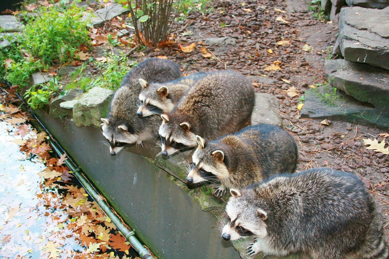 raccoon season