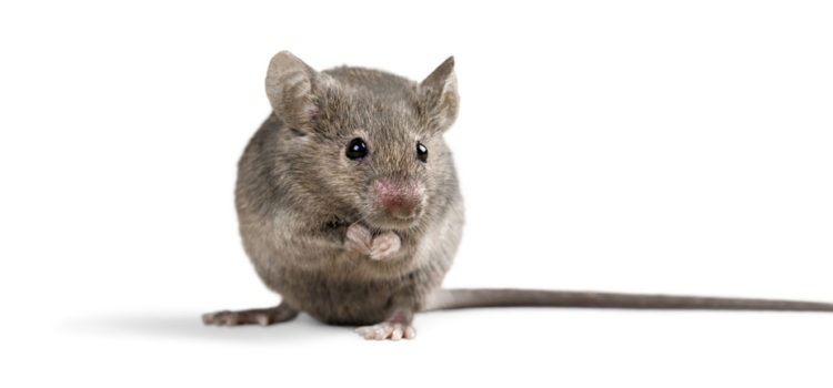 Do You Need Help Taking Care Of A Mouse Infestation?
