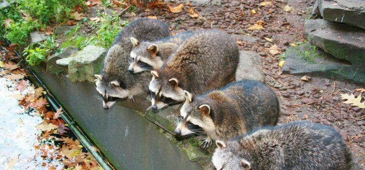Spring Brings Baby Raccoons