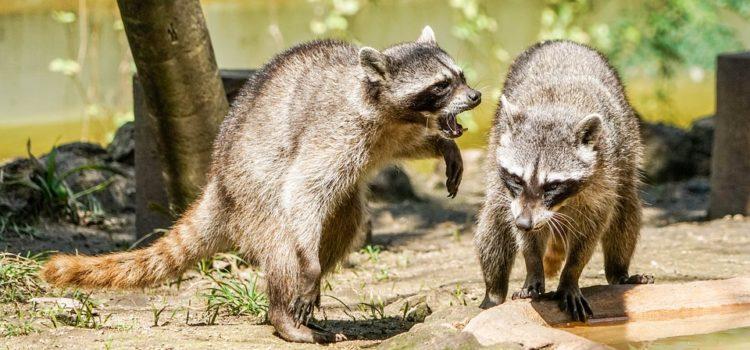The Danger of Raccoons